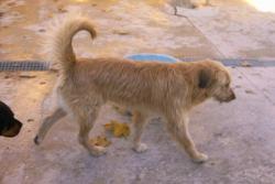 Yogo X perro pastor de tres años.  Onil Yogo